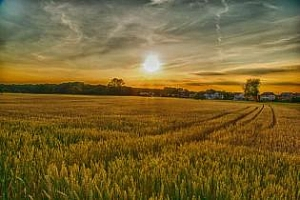 Посевите с твърда пшеница в САЩ продължават да се влошават