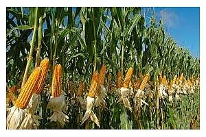 Ценовите нива на царевицата от САЩ са най-евтините до юли
