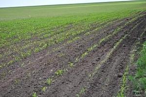 Сеитбата на царевицата в САЩ за сега върви изпреварващо