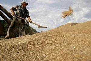 Опашка от износители за индийската пшеница