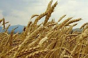 Йордания купува на добра цена нова реколта хлебна пшеница