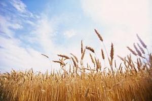 Иран: Вносът на пшеница - настоящият и бъдещият