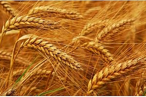 Алжир плаща повече, за да купи 660кмт хлебна пшеница
