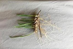 Състоянието на пшеницата в Европа се влошава, но в САЩ се подобрява