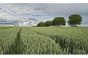 Саудитска Арабия ще купува хлебна пшеница за септември 2018