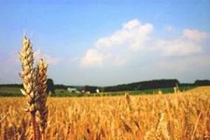 Европейски съюз: прогнозите за пшеницата са преразгледани в посока понижаване, а за ечемика - повишаване