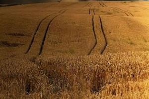 Валежи в Черномарския регион влошават качеството на зърнената реколта
