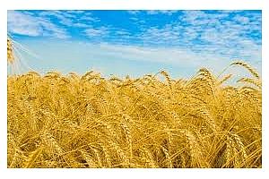 Реколтата от пшеница в Германия ще е най-слабата от началото на века