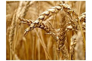 Индонезия е договорила украинска пшеница за август