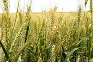 Йордания премести търга за закупуването на 100 хил. тона пшеница. Заради Русия?
