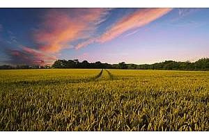 Цената на пшеницата за и Йордания и Египет леко поевтинява