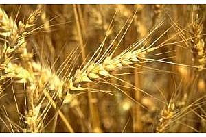 ФАО ООН намали прогнозата за световното производство на зърнени култури през  сезона 2012/13