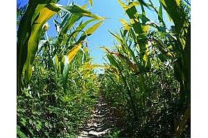 Южна Корея купува 60кмт не ГМО царевица