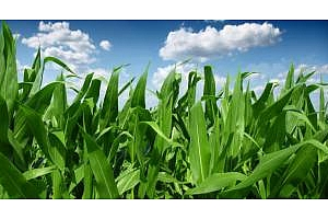 Спокойствие и очакване на USDA доклада задържат цените