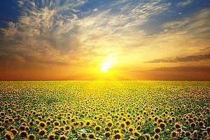 Египет купува слънчогледово и соево олио за края на октомври