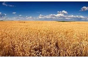 Валежи в САЩ и Австралия потискат цените на пшеницата