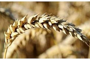 Жътвата на царевица и соя в САЩ се забавя, но не помага на цените