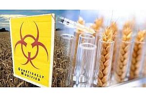 Аржентина обмисля използване на ГМО пшеница издържаща на суша