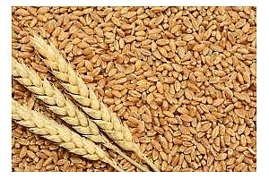 Сирия ще купува хлебна пшеница за февруари