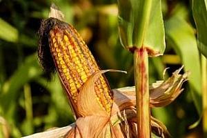 Турция ще провежда търгове за покупка на 342кмт царевица