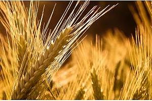 Иран ще купува големи количества царевица, ечемик и соев шрот