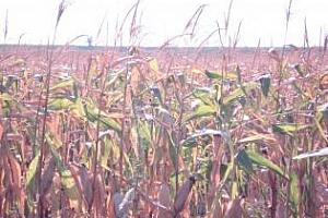 Япония смени доставчика на царевица