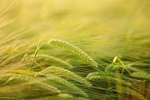 Търг за внос на фуражен ечемик е обявен от Иран