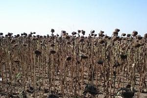 Вносът на слънчоглед в Турция нараства до 8 годишен връх