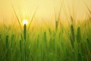 Нова реколта фуражен ечемик ще внася Йордания