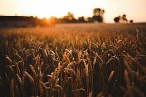 Алжир ще внася 200-250кмт твърда хлебна пшеница