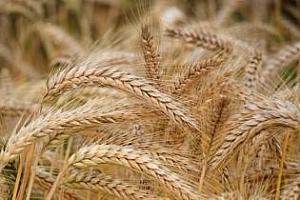Турция плаща ниски цени за висококачествена пшеница