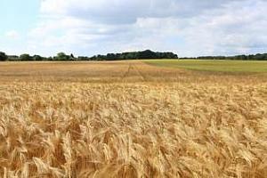 Цените на фуражния ечемик, нова реколта, спадат