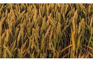 Офертни цени за внос на пшеница в Етиопия