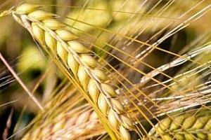 Бангладеш се възползва от по-ниски цени на пшеницата
