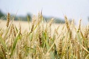 Цената на пшеницата за Египет поевтинява