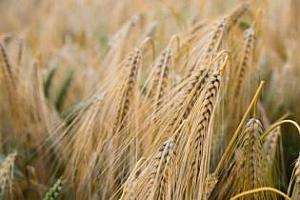Производството на био зърна в България нараства