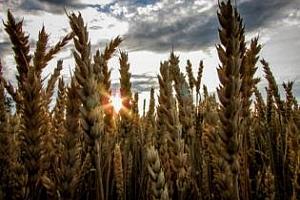 Вносните цени на пшеницата за Алжир се стабилизират