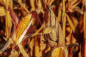 Индия ще внася 500кмт царевица без мито