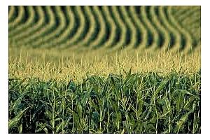 Отлични добиви от царевица и соя в Аржентина