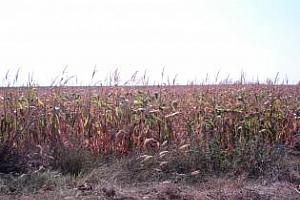 Прогнозата за реколта от царевица в САЩ се понижава всеки ден