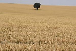 Алжир отново на пазара за хлебна пшеница