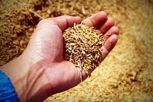 Пшеница и царевица силно поскъпват в Чикаго