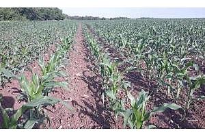 Големи амплитуди при цените на пшеницата