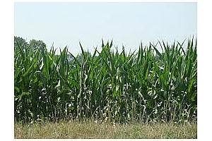Южна Корея внася фуражна пшеница, царевица и соев шрот