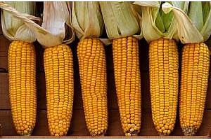 Южна Корея купува царевица стара реколта