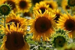 Слабото предлагане на соя ще увеличи търсенето на слънчоглед