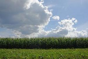 Повишена прогноза за реколта от пшеница в Германия и понижена за царевица Украйна