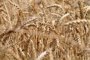 Йордания успешно закупи 100 хил. тона пшеница