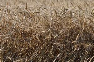 Израел купува фуражна пшеница на порции