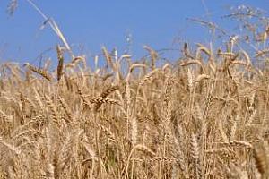Цени на пшеница с високи хлебопекарни качества